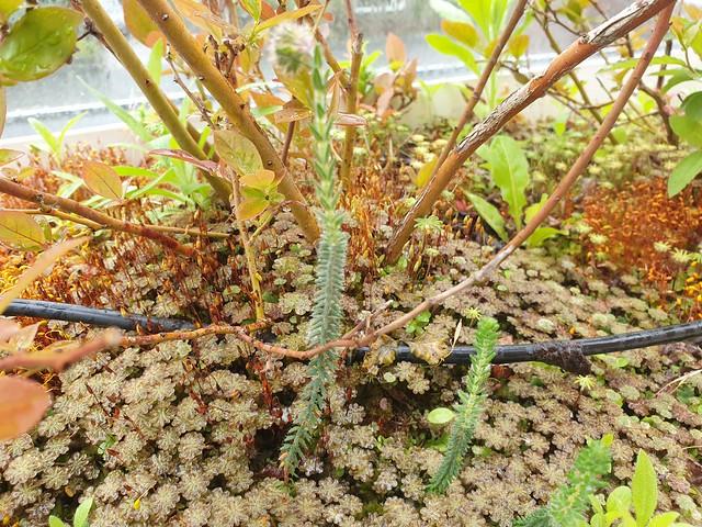 mosses growing